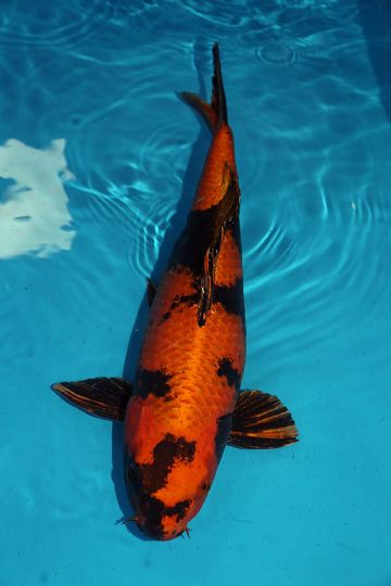 "Kin Ki Utsuri-Koi For Sale 22"" 0029"